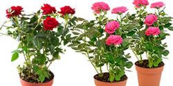 planten_in_juni_rozen