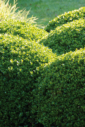 20140314_buxus2 - kopie