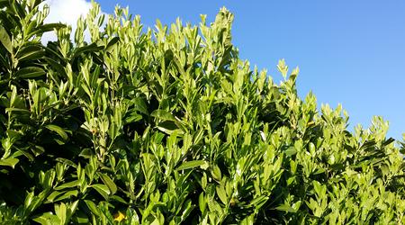 haagplant
